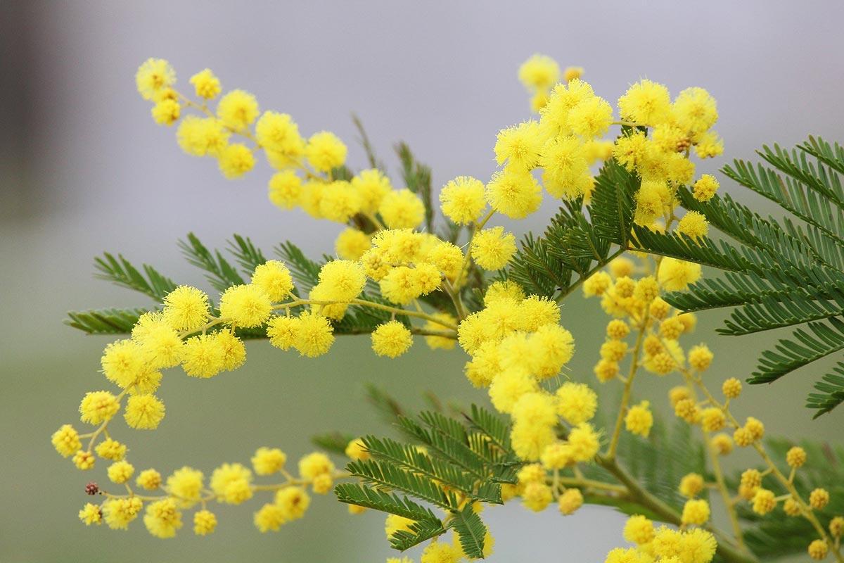 Mimosa - 8 Marzo - Festa internazionale delle donne